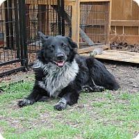 Adopt A Pet :: Bear - Allen, TX