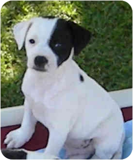 Jack Russell Terrier/Spaniel (Unknown Type) Mix Puppy for adoption in Phoenix, Arizona - SPIKE