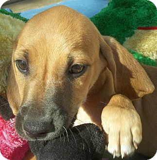 Black and Tan Coonhound/Hound (Unknown Type) Mix Puppy for adoption in Conway, Arkansas - Dakota