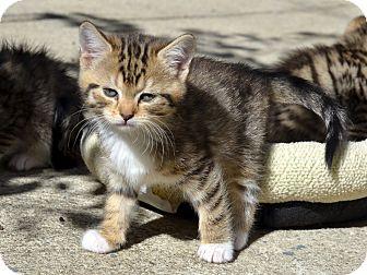 American Shorthair Kitten for adoption in Brooklyn, New York - Trumpet Chubs