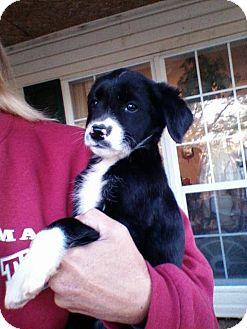 Anatolian Shepherd/Border Collie Mix Puppy for adoption in Uxbridge, Massachusetts - Rosie
