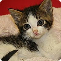Adopt A Pet :: IDELE - SILVER SPRING, MD