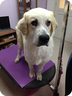 Great Pyrenees/Anatolian Shepherd Mix Dog for adoption in Del Rio, Texas - Conrad