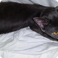 Domestic Shorthair Kitten for adoption in Orlando-Kissimmee, Florida - Shawnie