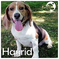 Adopt A Pet :: Hagrid - Novi, MI