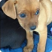 Adopt A Pet :: Heidi Puppy - San Marcos, CA