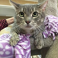 Domestic Shorthair Cat for adoption in Baton Rouge, Louisiana - Grady