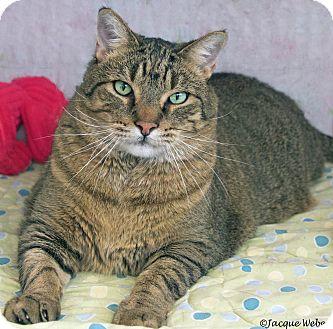 Domestic Shorthair Cat for adoption in St Louis, Missouri - Duke