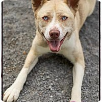 Adopt A Pet :: Socks - Washington, DC