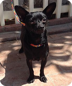 Chihuahua Mix Dog for adoption in Santa Ana, California - Max (BH)