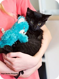 Domestic Shorthair Kitten for adoption in Knoxville, Tennessee - Bullwinkle