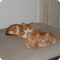 Domestic Shorthair Kitten for adoption in Ardmore, Oklahoma - Mellow, Splash and Rooster