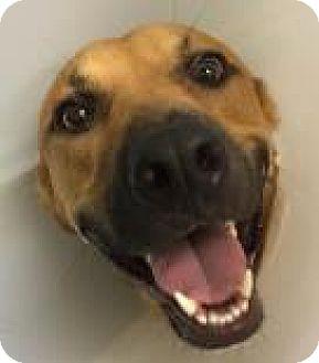 Shepherd (Unknown Type) Mix Dog for adoption in Columbus, Georgia - Shere Khan 6754