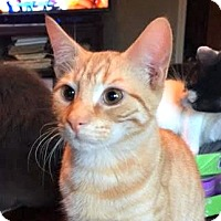 Adopt A Pet :: LARRY (ORANGE KITTEN 2) - Burlington, NC