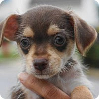 Adopt A Pet :: Daisy - Holly Springs, NC