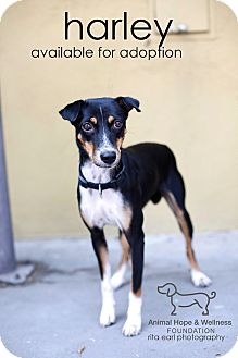 Basenji Mix Dog for adoption in Sherman Oaks, California - Harley