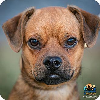 Pug/Beagle Mix Dog for adoption in Evansville, Indiana - Buddy