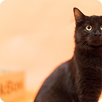 Domestic Mediumhair Kitten for adoption in Cincinnati, Ohio - Robert