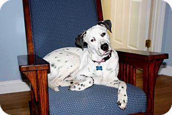 Labrador Retriever/Dalmatian Mix Puppy for adoption in Spring Valley, New York - PUPPY LINCOLN