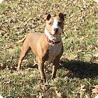 Bull Terrier Mix Dog for adoption in St. Charles, Missouri - Tigger