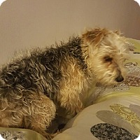 Yorkie, Yorkshire Terrier/Poodle (Toy or Tea Cup) Mix Dog for adoption in Livonia, Michigan - Addie