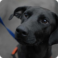 Adopt A Pet :: Duke - New York, NY