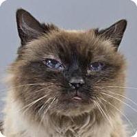 Adopt A Pet :: Layla:Ragdoll (FCID# 1/16/17-200 Christiana Foster - Greenville, DE