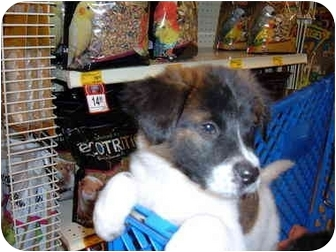 Border Collie/Labrador Retriever Mix Puppy for adoption in No.Charleston, South Carolina - Piper