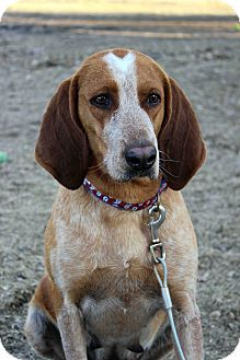 Plott Hound Mix Dog for adoption in Westminster, Colorado - Collette