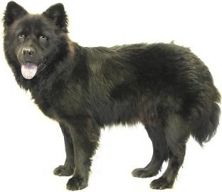 Chow Chow Dog for adoption in Inverness, Florida - Onyx
