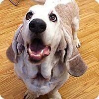 Adopt A Pet :: Winston - Acton, CA