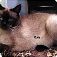 Adopt A Pet :: Raisin - Portland, OR