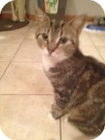 Domestic Shorthair Cat for adoption in East Hanover, New Jersey - Savannah