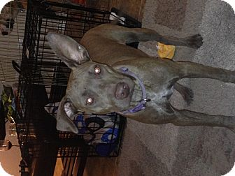 Pit Bull Terrier Mix Puppy for adoption in Gilbert, Arizona - Brownie