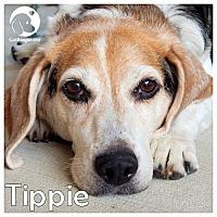 Adopt A Pet :: Tippie - Novi, MI