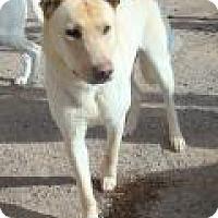 Adopt A Pet :: Yeller - Las Vegas, NV