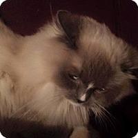 Adopt A Pet :: Gracie - purebred - Ennis, TX