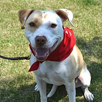 Pit Bull Terrier Dog for adoption in Dallas, Georgia - Sammy - Courtesy Post