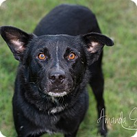 Labrador Retriever Mix Dog for adoption in Pilot Point, Texas - SIMON