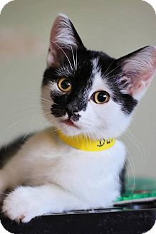Domestic Shorthair Cat for adoption in Markham, Ontario - Darcy - kitten