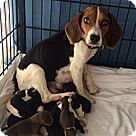 Adopt A Pet :: Baby Blue's pup 5