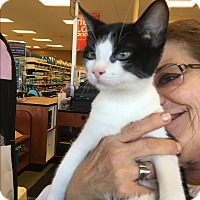 Domestic Shorthair Kitten for adoption in Palm Springs, California - Monty
