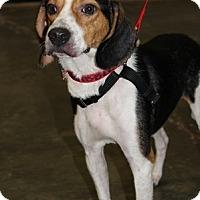 Beagle Mix Dog for adoption in Burgaw, North Carolina - Scrabble
