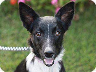 Border Collie/Sheltie, Shetland Sheepdog Mix Dog for adoption in Cookeville, Tennessee - Brennan