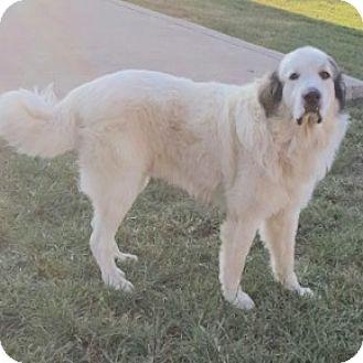 Great Pyrenees Dog for adoption in Harrisburg, Pennsylvania - Sugar Bear