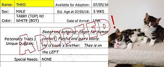 RagaMuffin Kitten for adoption in Flippin, Arkansas - Theo