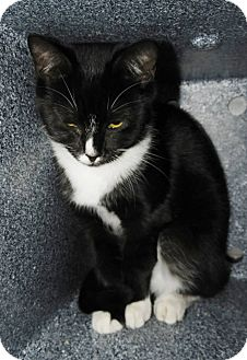 Domestic Shorthair Kitten for adoption in Henderson, North Carolina - Robin
