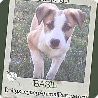 Adopt A Pet :: BASIL - Lincoln, NE