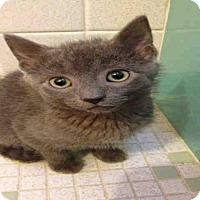 Domestic Mediumhair Kitten for adoption in Pittsburgh, Pennsylvania - SNAGGLETOOTH