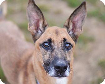 German Shepherd Dog Mix Dog for adoption in Philadelphia, Pennsylvania - KING!